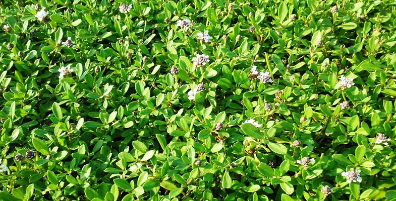 tappeto erboso precoltivato LIPPIAROLL1