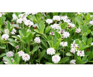 particolare prato lippia nodiflora repens